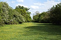 Buttercup sward and grass walk in Hatfield Forest Essex England.jpg