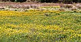 Buttercups (31550877122).jpg