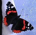 Butterfly-vulcan-papillon-vulcain-vanessa-atalanta-4.jpg