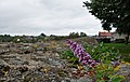 Butterfly bush growing on the city walls of Binche (DSCF7835).jpg