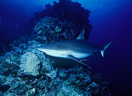 Photo of shark in twilit waters with coral head in background