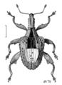 COLE Curculionidae Stephanorhynchus crassus.png