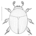 COLE Leiodidae Zeadolopus spinipes.png