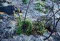 CSIRO ScienceImage 207 The Mountain Devil Lambertia formosa shrub regenerating from lignotubers.jpg