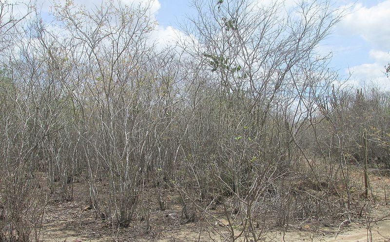 File:Caatinga - Sítio Gravatá dos Velez, Queimadas - PB .2.jpg