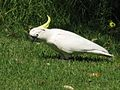 Cacatua galerita -on short grass -Sydney-8c.jpg