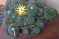 Cactus with flower1.jpg