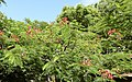 Caesalpinioideae - Johannisbrotgewächs - Oasis Park - Fuerteventura - 2.jpg