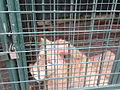 Caged Lion (16685587714).jpg