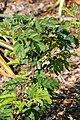 Calliandra haematocephala Alba 2zz.jpg