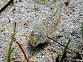 Callionymus risso Cres 3.JPG