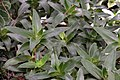 Callisia fragrans 8zz.jpg