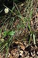 Calochortus albus-7.jpg