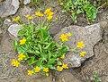 Caltha palustris in Avoriaz (7).jpg