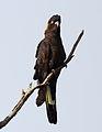 Calyptorhynchus funereus -Royal Botanic Gardens, Cranbourne, Melbourne, Australia -male-8.jpg