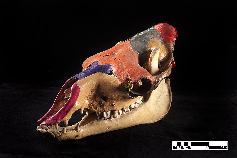 Camel skull (MAV FMVZ USP)
