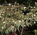 Camellia cuspidata BotGardBln271207D.jpg