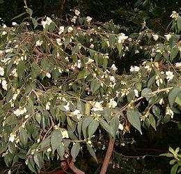 Camellia cuspidata BotGardBln271207D