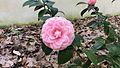 Camellia japonica Pink Perfection (Orto Botanico Pisa).jpg