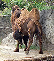 Camelus bactrianus back mexico zoo.jpg