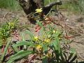 Camissonia parvula.jpg