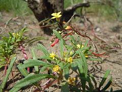 240px camissonia parvula