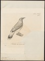 Campephaga chalcocephala - 1700-1880 - Print - Iconographia Zoologica - Special Collections University of Amsterdam - UBA01 IZ16500415.tif