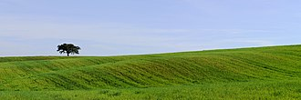 Alentejo - A typical landscape of the rural Alentejo region, with an undulating wheat field and a solitary suber oak