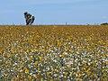 Campo de flores silvestres - panoramio.jpg