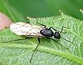 Camponotus pennsylvanica male IMG 9748.jpg