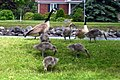 Canada Goose Family. Trent Canal. Campbellford, Ontario 1777 (14418311441).jpg