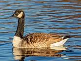 Canada goose (Branta canadensis), Lake Victoria, Christchurch, New Zealand 04.jpg