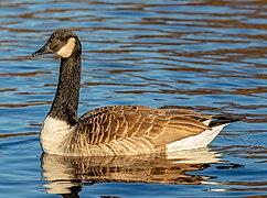 Canada goose (Branta canadensis), Lake Victoria, Christchurch, New Zealand 04.jpg