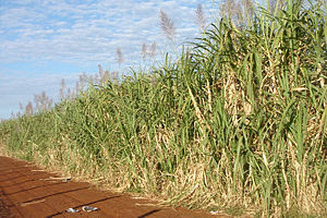 Sustainable biofuel - Sugarcane (Saccharum officinarum) plantation ready for harvest, Ituverava, São Paulo State, Brazil.