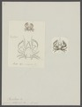 Cancer platycheles - - Print - Iconographia Zoologica - Special Collections University of Amsterdam - UBAINV0274 096 13 0004.tif
