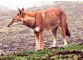 Canis simensis Bale Mountains 2.jpg