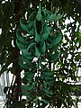 Canopy Walk - The Tropics - US Botanic Gardens 05.jpg