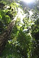 Canopy in Protected rainforest, Eungella National Park, Queensland 05.jpg