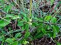 Canthium coromandelicum112.jpg