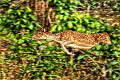 Canvas like photograph of a deer jumping at jim corbett.jpg