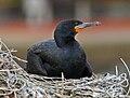 Cape Cormorant RWD2.jpg