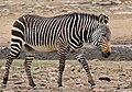 Cape Mountain Zebra (Equus zebra zebra) (32204331504).jpg