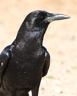 Cape crow, Corvus capensis, at Kgalagadi Transfrontier Park, Northern Cape, South Africa (35911992762).jpg