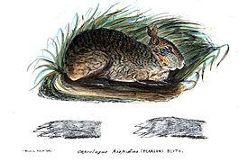 Planche zoologique d'un lapin gris chiné aux oreilles courtes, yeux jours et joues renflées
