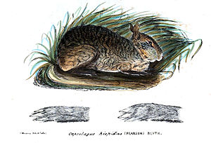 Hispid hare - Illustration published in 1845