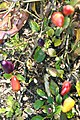 Capsicum annuum Chinese Five-Color 1zz.jpg