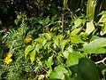 Capsicum frutescens 'Piri-piri' (6674332561).jpg