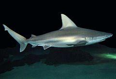 240px carcharhinus plumbeus si