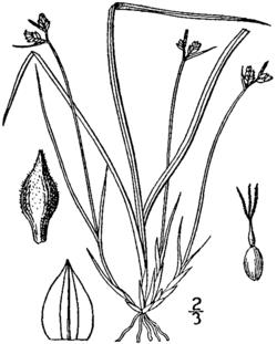 Carex deflexa BB-1913.png