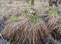 Carex elata kz01.jpg